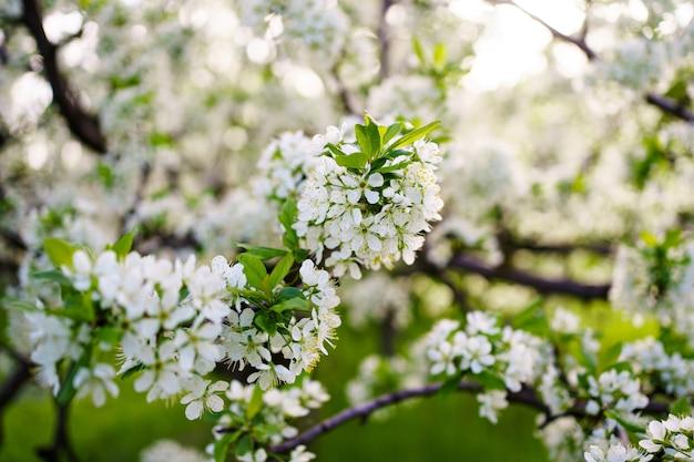 Piękno wiosennej natury. gałęzie drzew kwiatowych. ogrodnictwo i rolnictwo. aromaterapia i medytacja. krajobraz.