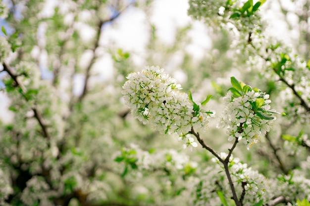 Piękno wiosennej natury. gałęzie drzew kwitnących