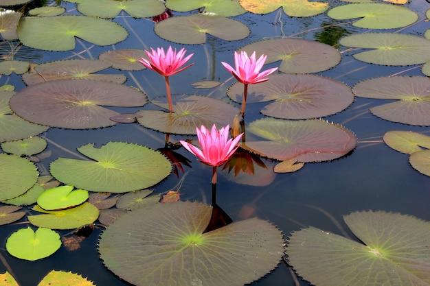 Piękno wody stawu lotosu.
