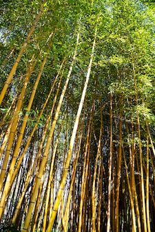Piękno złotego bambusa ze złotymi łodygami i zielonymi liśćmi. popularny do ozdabiania ogrodu, ponieważ jest to złoty bambus i piękny żółty wygląd bardziej nietypowy niż typowy bambus.