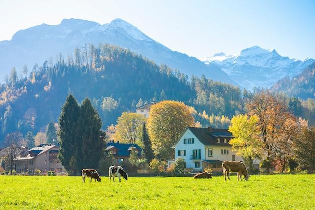 Piękny alps góra, bydło i przy jesienią w interlaken kantonie, szwajcaria