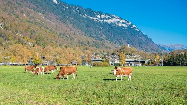 Piękny alps góra, bydło przy jesienią w interlaken kantonie i, szwajcaria