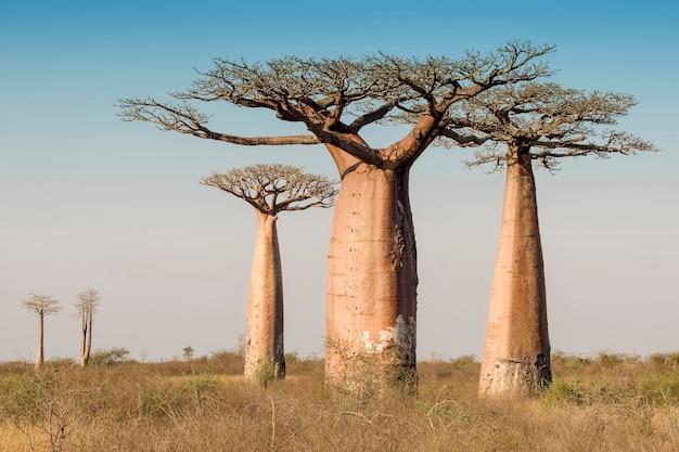 Piękny baobab z madagaskaru. madagaskar. afryka