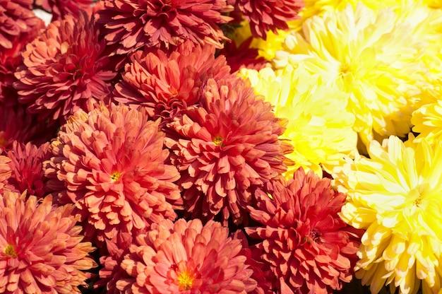 Piękny barwny kwiat chryzantemy jesienią żywy