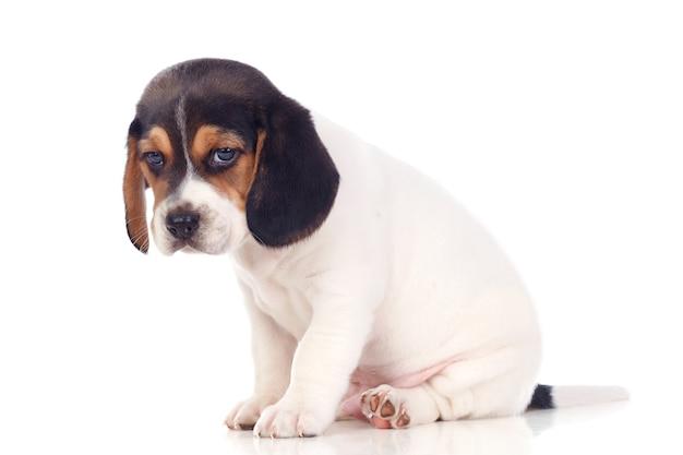 Piękny beagle puppi brąz i czerń