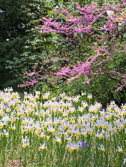Piękny biało-żółty irysowy kwiat na klombie w wiosennym parku