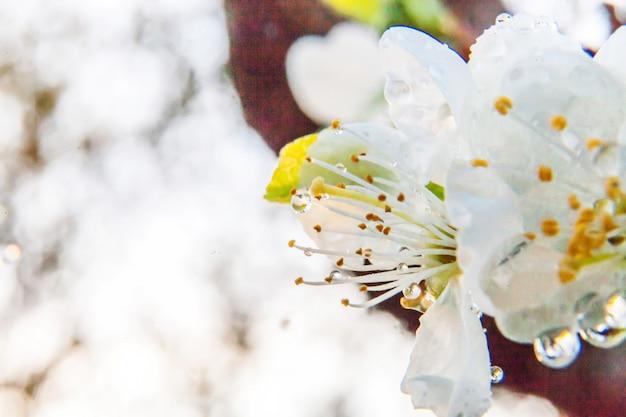 Piękny biały czereśniowy okwitnięcie sakura kwitnie makro- zakończenie up w wiosna czasie. inspirujący kwiatowy kwitnący ogród lub park. projekt sztuki kwiatowej.