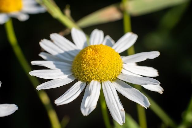 Piękny biały dziki kwiat na zielonym tle. zdjęcie wysokiej jakości