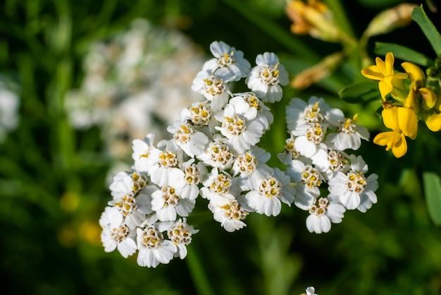 Piękny biały dziki kwiat na zielonym tle