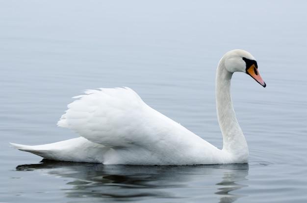 Piękny biały elegancki ptak łabędzie na mglistej zimowej rzece