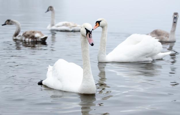 Piękny biały elegancki ptak łabędzie na rzece mglisty zima. zdjęcie dzikich zwierząt