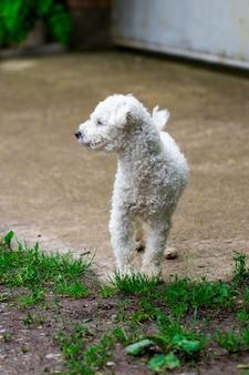 Piękny biały kędzierzawy pies w zbliżeniu ogrodu.
