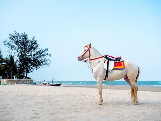 Piękny biały koń na plaży w hua, tajlandia.