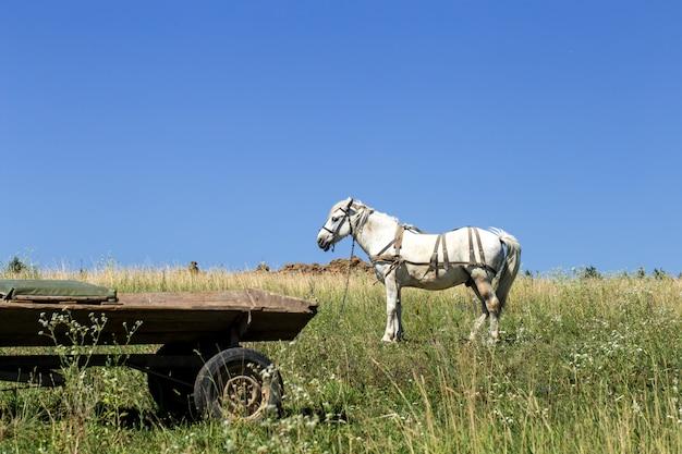 Piękny biały koń w pobliżu pola