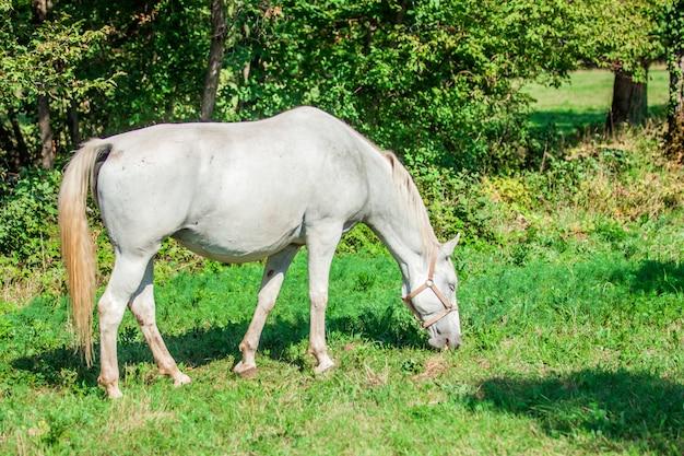 Piękny biały koń wypasany na zielonej trawie w lipica, park narodowy w słowenii