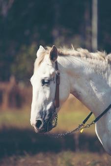 Piękny biały koń z długim grzywa portretem