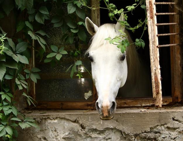 Piękny biały koń