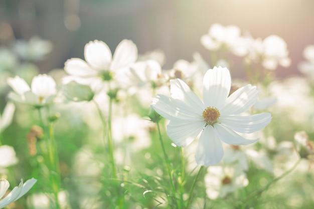 Piękny biały kosmos kwitnie kwitnienie w polu.