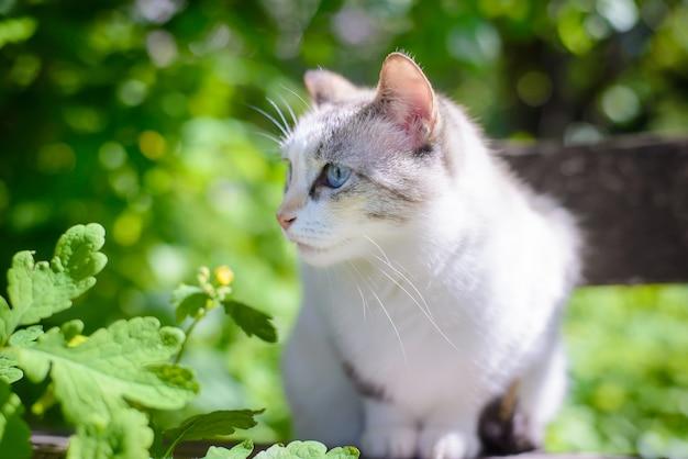 Piękny biały kot o niebieskich oczach w lecie w ogrodzie