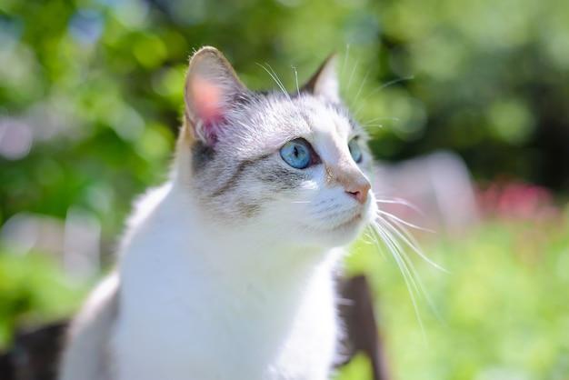 Piękny biały kot z niebieskimi oczami latem w zielonym ogrodzie w słońcu