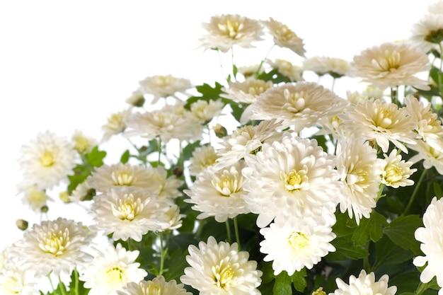 Piękny biały kwiat chryzantemy (jesienne żywe tło) na białym tle