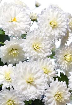 Piękny biały kwiat chryzantemy (jesienne żywe tło)