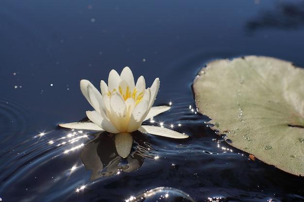 Piękny biały kwiat lilii wodnej w jeziorze z falami obok dużego płaskiego liścia, kwiatowa koncepcja