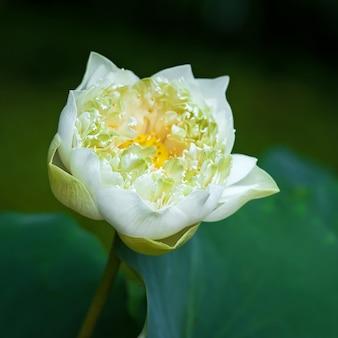Piękny biały kwiat lotosu w ogrodach.