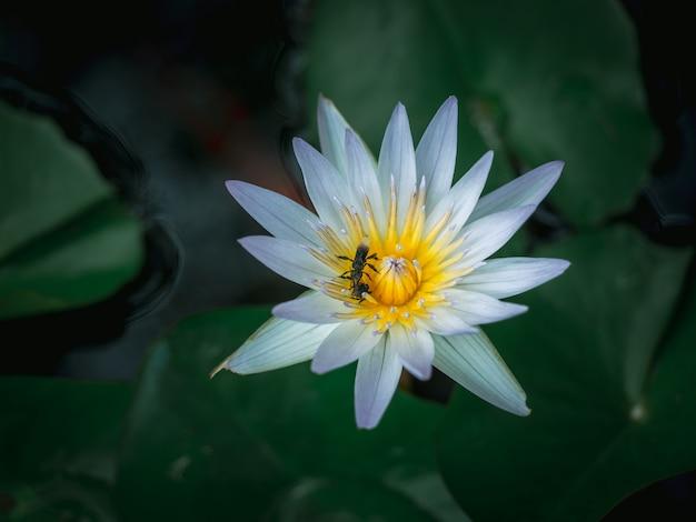 Piękny biały kwiat lotosu w stawie z zielonymi liśćmi lotosu.