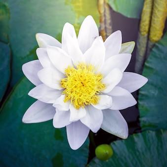 Piękny biały kwiat lotosu z zielonym liściem w stawie