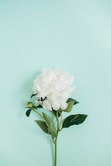 Piękny biały kwiat piwonii na niebiesko