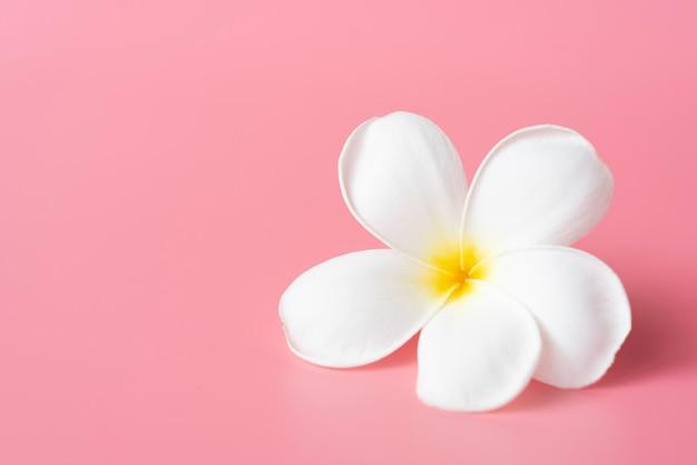 Piękny biały kwiat plumeria na różowo