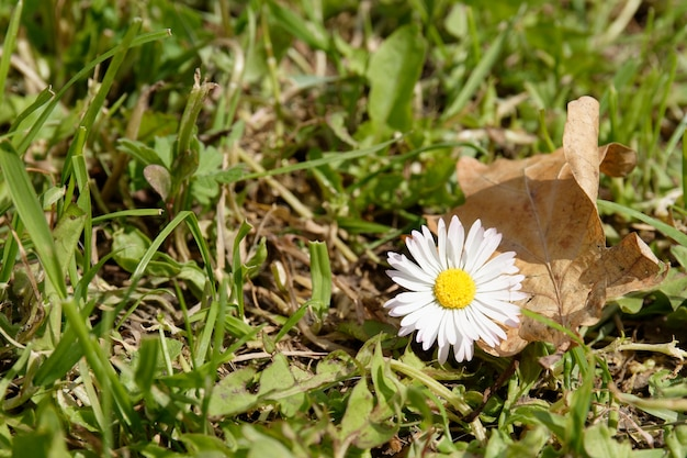 Piękny biały kwiat stokrotki