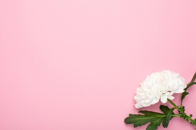 Piękny biały kwiat w pastelowym różu