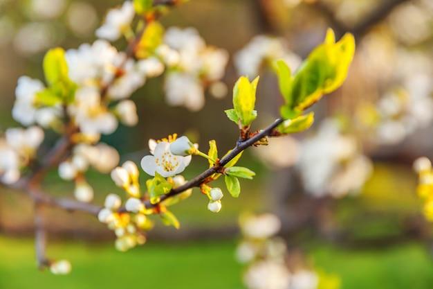 Piękny biały kwiat wiśni sakura kwiaty wiosną. inspirujący naturalny kwiatowy kwitnący ogród lub park. projekt sztuki kwiatowej.