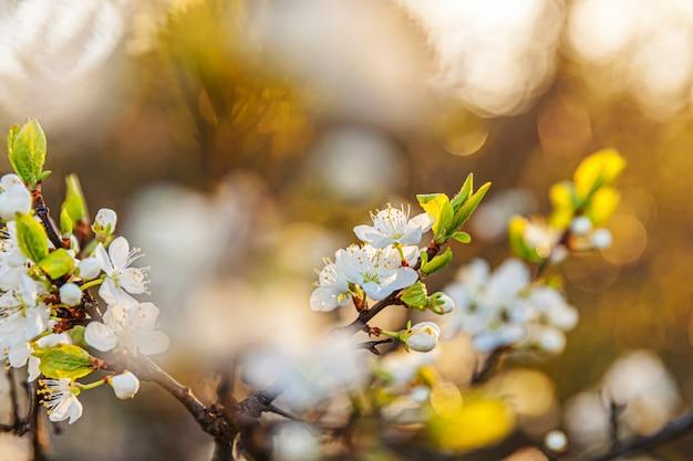 Piękny biały kwiat wiśni sakura kwiaty wiosną. natura z kwitnących wiśni. inspirujący naturalny kwiatowy kwitnący ogród lub park. projekt sztuki kwiatowej.