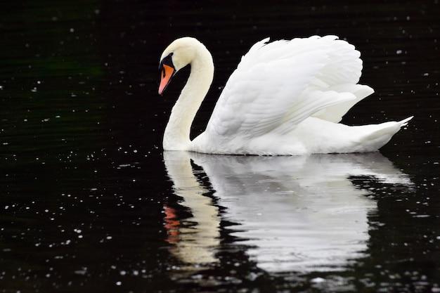 Piękny biały łabędź jest nad rzeką