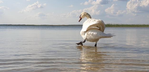 Piękny biały łabędź spaceruje po płytkiej wodzie czystego, świeżego jeziora i pije wodę
