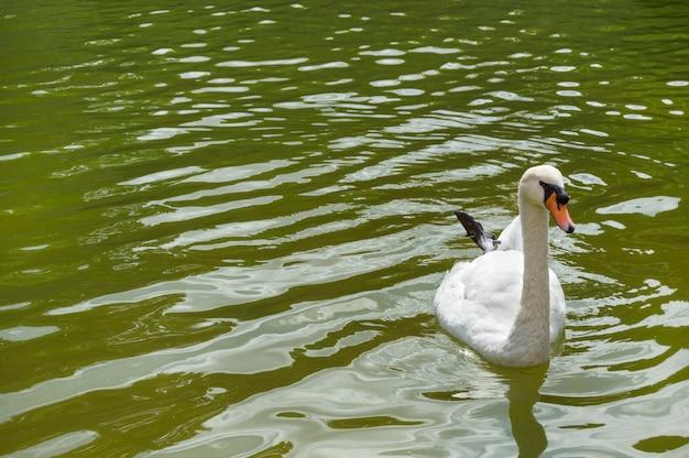 Piękny biały łabędź w jeziorze
