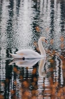 Piękny biały łabędź w stawie