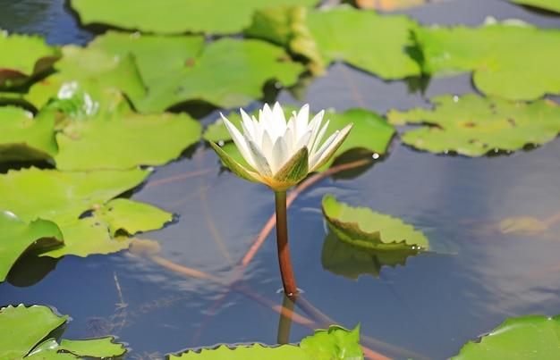 Piękny biały lotosowy kwiat w stawie
