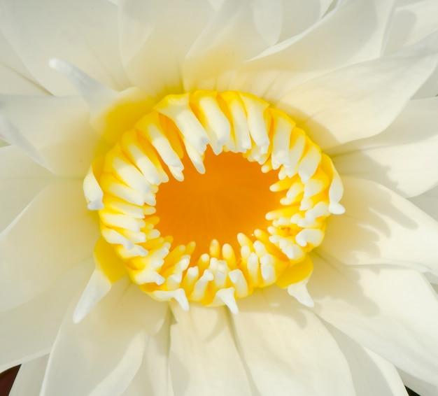 Piękny biały lotosowy kwiat
