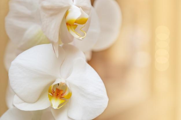 Piękny biały orchidei zakończenie up na świetle zamazywał tło. delikatna orchidea kwiatowa w pastelowych kolorach. nieostrość. zajmij miejsce na tekst lub gratulacje