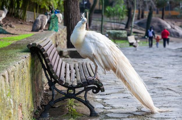 Piękny biały paw siedzący na drewnianej ławce w publicznym parku