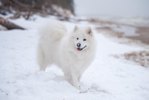 Piękny biały pies samoyed jest na śniegu plaża saulkrasti biała wydma na łotwie