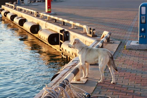 Piękny biały pies stoi na molo i czeka na swojego właściciela