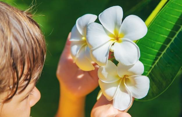 Piękny biały plumeria kwitnie na drzewie.