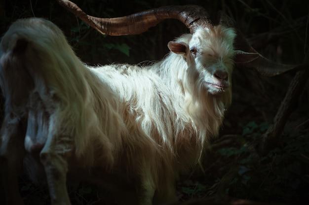 Piękny biały portret kozy górskiej we włoszech