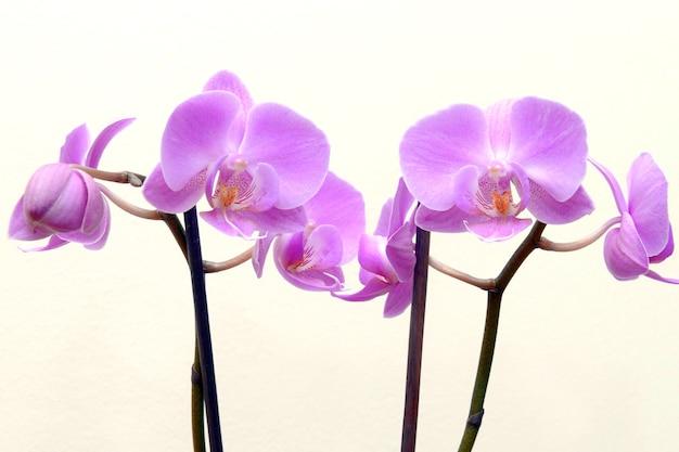 Piękny biały storczyk phalaenopsis na białym tle na białym tle, piękny różowy kwiat orchidei. projekt obramowania kwiat orchidei