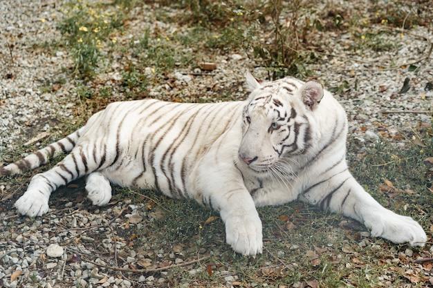 Piękny biały tygrys leżący w zoo